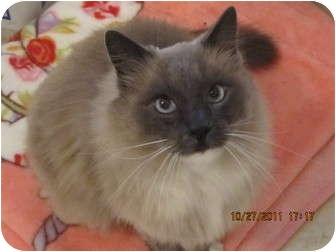 Snowshoe Cat for adoption in Los Angeles, California - Ali