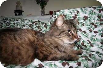 Maine Coon Cat for adoption in Santa Rosa, California - Percival