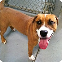 Adopt A Pet :: Pee Wee - Fort Riley, KS