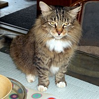 Domestic Longhair Cat for adoption in Naples, Florida - Zuni