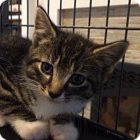 Adopt A Pet :: 11 week tiger female kitten - Manasquan, NJ