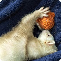 Adopt A Pet :: Freya - Balch Springs, TX
