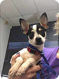 Chihuahua/Schnauzer (Miniature) Mix Puppy for adoption in Houston, Texas - Ringo