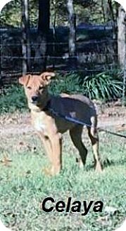 Hound (Unknown Type) Mix Puppy for adoption in Manchester, Connecticut - Celaya meet me 12/2