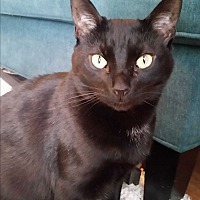 Domestic Shorthair Cat for adoption in Athens, Georgia - Evie