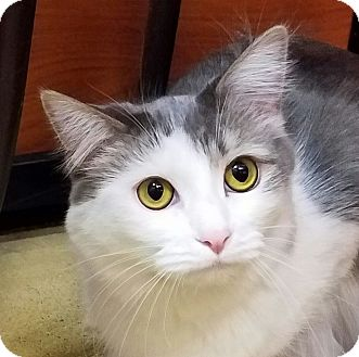 Domestic Shorthair Cat for adoption in Fairfax, Virginia - Sky and Moon