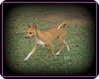 Whippet/Rat Terrier Mix Dog for adoption in Indian Trail, North Carolina - Honey