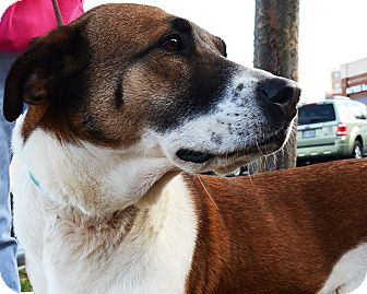 Shepherd (Unknown Type)/Collie Mix Dog for adoption in Richmond, Virginia - Gypsy