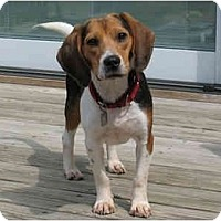 Adopt A Pet :: Hayden - Blairstown, NJ