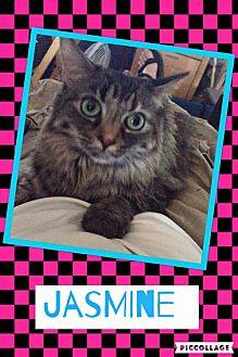 Domestic Longhair Cat for adoption in Scottsdale, Arizona - Jasmine