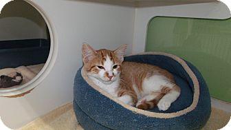 Domestic Shorthair Kitten for adoption in Muskegon, Michigan - roger