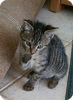 Bengal Kitten for adoption in Sunny Isles Beach, Florida - Romeo