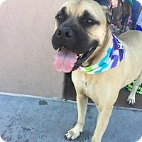 Adopt A Pet :: Tilly - Peoria, AZ