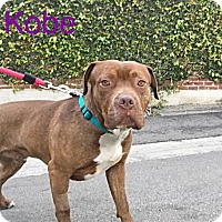 Adopt A Pet :: Kobe - Beverly Hills, CA