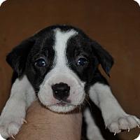 Adopt A Pet :: simon - Hardeeville, SC