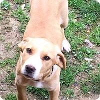 Adopt A Pet :: Rose meet me 4/29 - Manchester, CT