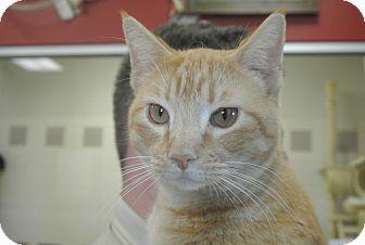 Domestic Shorthair Cat for adoption in white settlment, Texas - Sharlotte