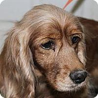 Adopt A Pet :: Caramel - Menomonee Falls, WI