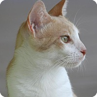 Domestic Shorthair Cat for adoption in North Fort Myers, Florida - Cadby
