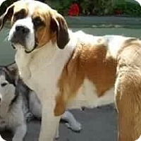 St. Bernard Dog for adoption in Long Beach, California - Indie