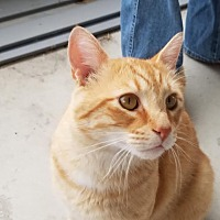 Domestic Shorthair Cat for adoption in Columbus, Ohio - Buddy