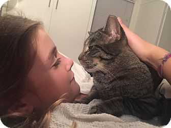 Domestic Shorthair Cat for adoption in Chicago, Illinois - Bob