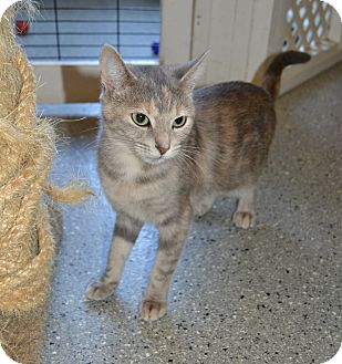 Domestic Shorthair Cat for adoption in Michigan City, Indiana - Gradie
