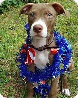 American Pit Bull Terrier Dog for adoption in Greensboro, North Carolina - Raja Gemini