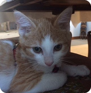 Domestic Shorthair Kitten for adoption in New Albany, Ohio - George Weasley