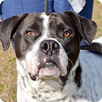 Boxer Mix Dog for adoption in Springfield, Massachusetts - Petey
