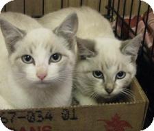 Siamese Cat for adoption in Jacksonville, Florida - DEka