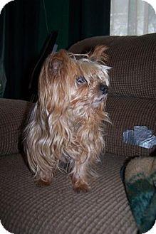 Yorkie, Yorkshire Terrier Dog for adoption in Greensboro, Georgia - Sadie