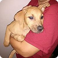 Adopt A Pet :: Eve - South Jersey, NJ