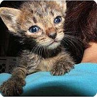 Adopt A Pet :: Kitty Tabby - Miami, FL