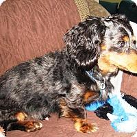 Adopt A Pet :: Smokie - Osseo, MN