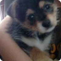 Adopt A Pet :: Princess Amanda - Marlton, NJ