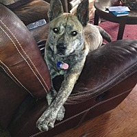 Australian Cattle Dog Mix Dog for adoption in Chesterfield, Michigan - Zeeland-MISSING DOG-REWARD