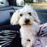 Poodle (Miniature)/Bichon Frise Mix Dog for adoption in Bakersfield, California - Princess Leah