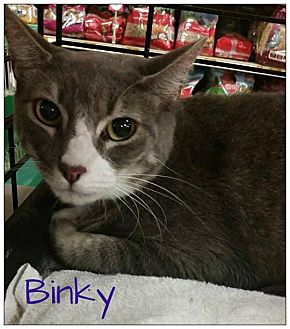 Domestic Shorthair Cat for adoption in Hazlet, New Jersey - Binky