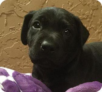 Labrador Retriever Mix Puppy for adoption in Kaufman, Texas - Charisma