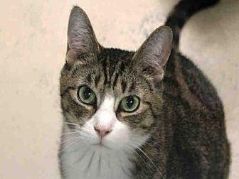 Domestic Mediumhair Cat for adoption in Hampton Bays, New York - ROMEO