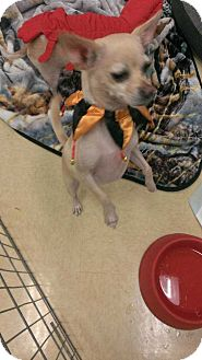 Chihuahua Mix Dog for adoption in Livermore, California - Kiki