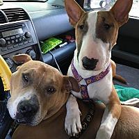 Adopt A Pet :: Petey - Irving, TX