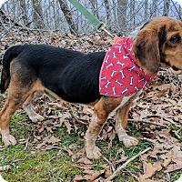 Adopt A Pet :: Buckweed - Sylva, NC