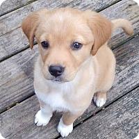 Adopt A Pet :: Gemma - Patterson, NY