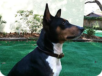 Basenji Dog for adoption in Seminole, Florida - King