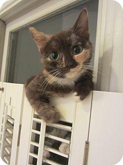 Calico Kitten for adoption in Arlington, Virginia - Reecie