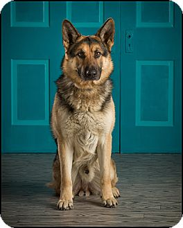 German Shepherd Dog Mix Dog for adoption in Owensboro, Kentucky - Sebastian