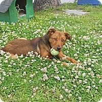 Adopt A Pet :: Astro - Hendersonville, TN