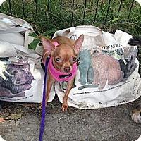 Adopt A Pet :: Peanut - New York, NY